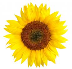 Sunflowers are a goldfinch's main food source.