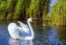 Swans are closely related to ducks and geese.