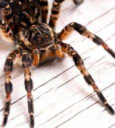 Although part of the tarantula family, some tarantulas are considered natural enemies of the goliath bird-eating spider.