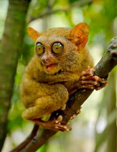The tarsier is a small primate found in the Philippines and other areas of Southeast Asia.
