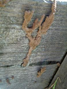 A mud tube is a sign of termite damage.
