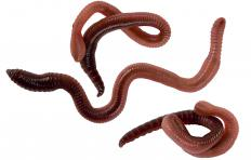 Many people use earthworms as bait when fishing.