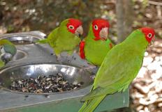Parakeets particularly enjoy eating sunflower seeds.