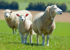 Rugs from sheep-producing nations are usually better than sheepskin rugs that are locally made.