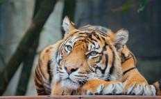 Bengal tigers originated in India, Nepal and Bangladesh.