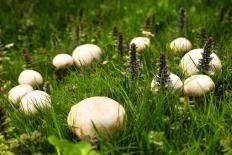 Puffball mushrooms are edible before they reach maturity.