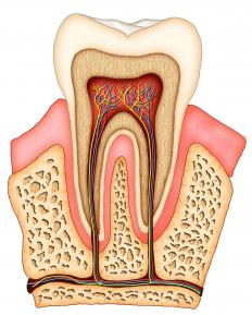 A cross section of a tooth