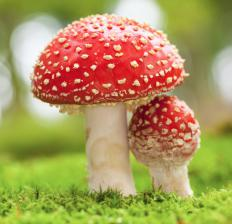 The silver birch sometimes forms a symbiotic relationship with the fly agaric toadstool.