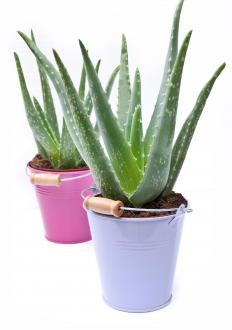 Aloe vera can relieve the symptoms of an itchy skin rash.