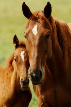 A chestnut horse has a brown coat with white markings on its face.