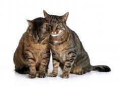 Striped cats are perhaps the most easily identifiable type of tabby cat.
