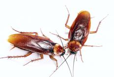 Roaches could point to a hidden food stockpile.