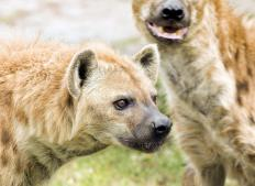The hyena is a prime example of predators who are also scavengers.
