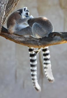 "Most people probably think of the ring-tailed species when they hear ""lemur""."