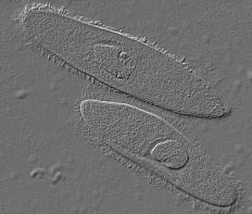 Two unicellular organisms.