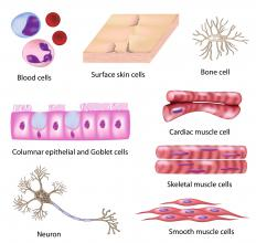 Types of human cells, all of which are studied by cytologists, a type of histologist.