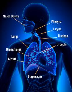 The respiratory system is made up of the mouth, throat, nose, sinuses, bronchial tubes, and lungs.