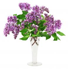 A vase of lilacs, a type of flowering shrub.