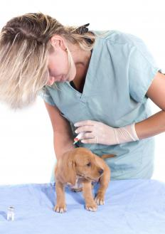 A vet giving a puppy a vaccination to help prevent parvo.