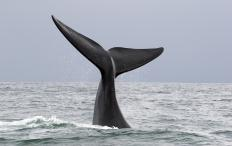 Whale watching trips can be luxury adventure travel.