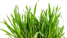 Wheatgrass contains fiber and potassium, but very little protein.
