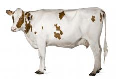 A cow, a type of ruminant.