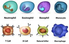 White blood cells identify and eliminate pathogenic threats.