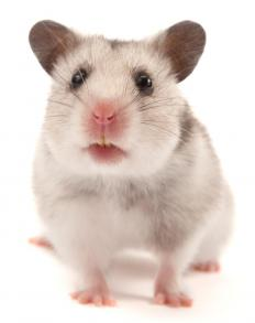 A hamster.