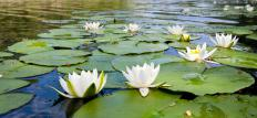 Water lilies may be planted to add a natural touch to a backyard waterfall and pond.