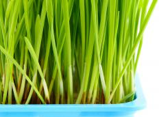 Wheatgrass, which helps combat anemia and colitis, tends to have a sweeter taste than barley grass.
