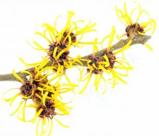 Applying pure witch hazel, from the witch hazel plant, may help heal bruises.