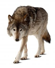 A dog bred with a wolf may be illegal or restricted in many areas.