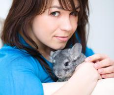 The giant chinchilla is bred as a pet rabbit, as they are known as gentle companions for their owners.