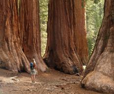 The Grove of the Titans is believed to be home to some of the largest redwoods in the world.