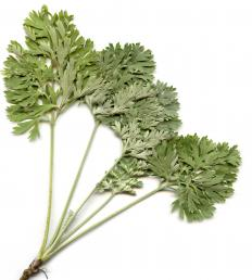 Wormwood is commonly found in many herbal treatments for hookworm.
