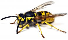 A yellow jacket, a type of wasp.