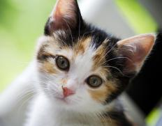 Members of a gene family can determine an organism's physical appearance, like the calico pattern of a cat.