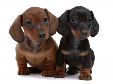 Blood in puppies' stools can be caused by hookworms.