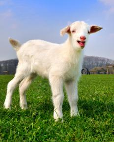 Mammals like goats are popular for genetic farming.