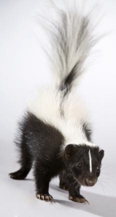 Young skunk.
