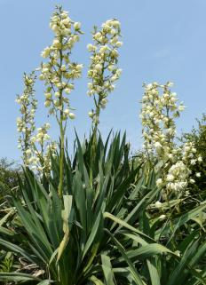 Mojave yucca can grow to heights of 2 to 20 feet.