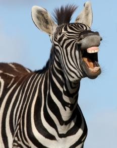 "The sentence, ""A zebra is striped,"" uses ""striped"" as a predicative adjective."