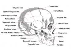 The temporal fascia is a type of connective tissue that attaches to the superior temporal line and the zygomatic arch, both of which are found in the human skull.