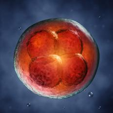 A blastocyst is a fertilized egg which has divided, but still contains few than 100 cells.