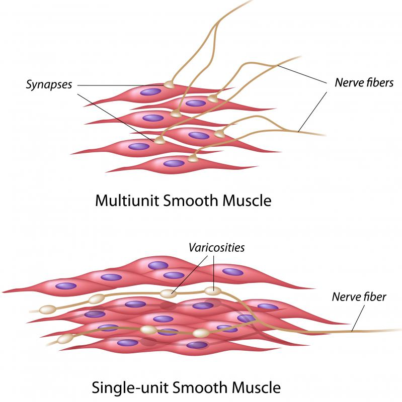 Multi-unit smooth muscle cells operate independently and single-unit, or visceral, smooth muscle cells operate together as a unit.