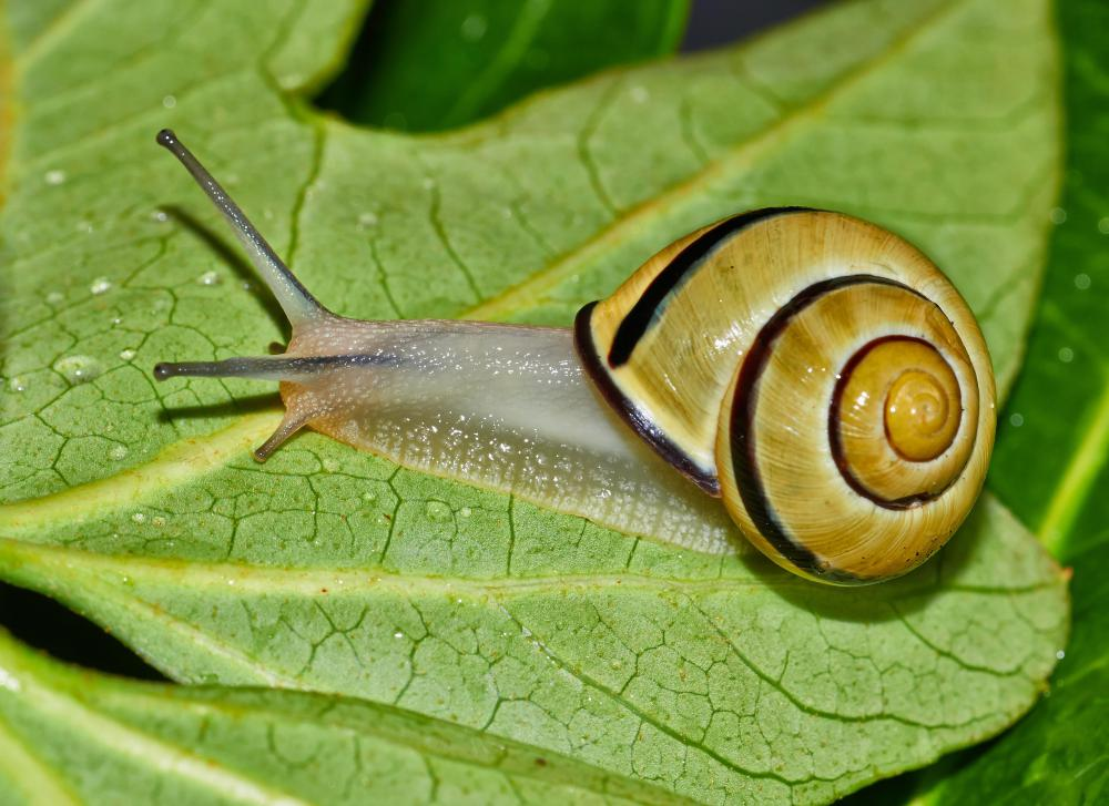 Escargot, a French dish, uses snails as a main ingredient.