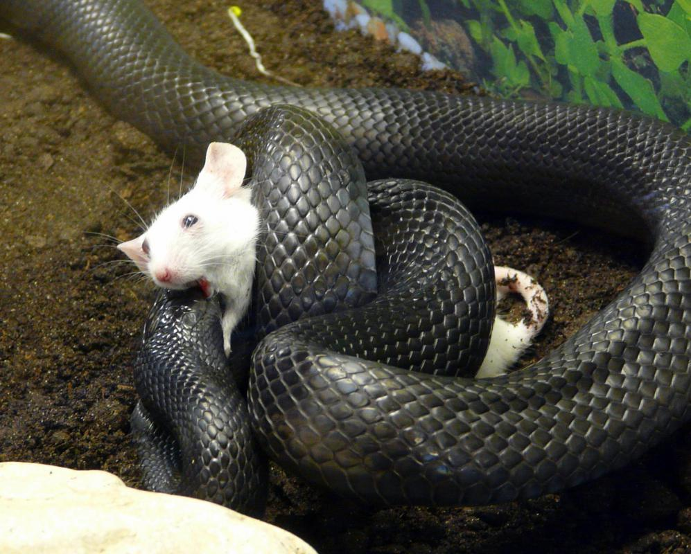 In an infrared radiation photo of a snake eating a mouse, the cold blooded snake would be nearly invisible, but the thermal outline of the warm blooded mouse would be visible.