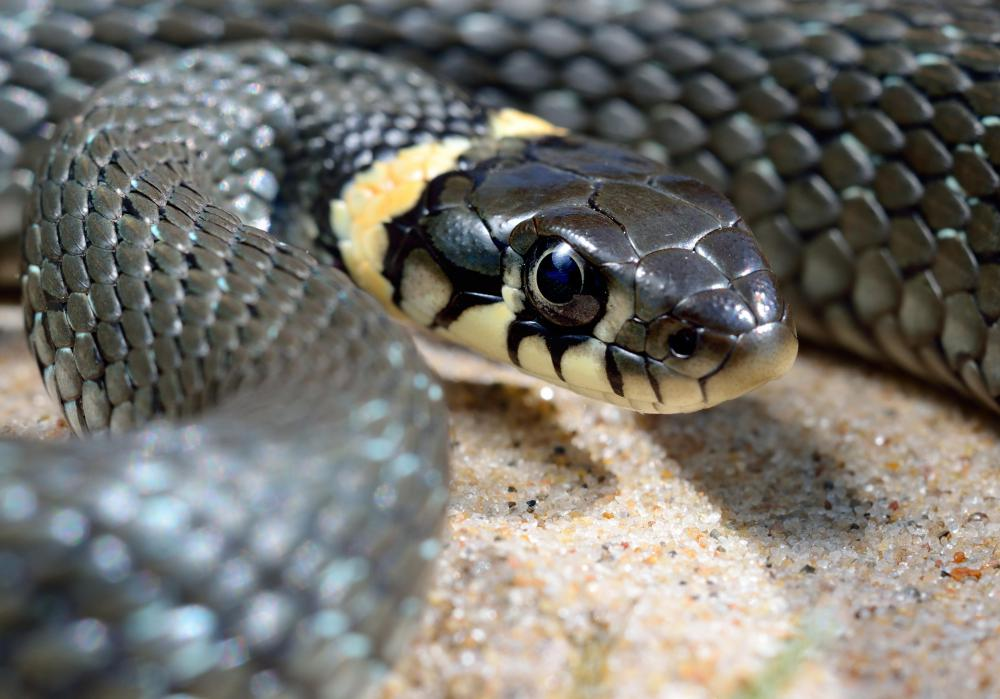 A ringneck snake has a bright ring below its head.