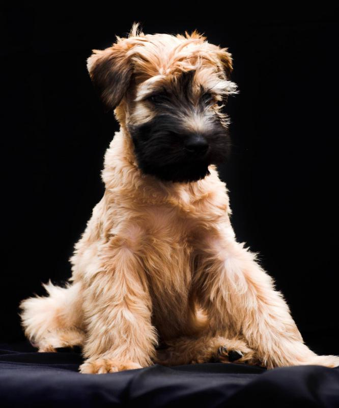 A Soft-Coated Wheaten Terrier may make a suitable companion for individuals with allergies.