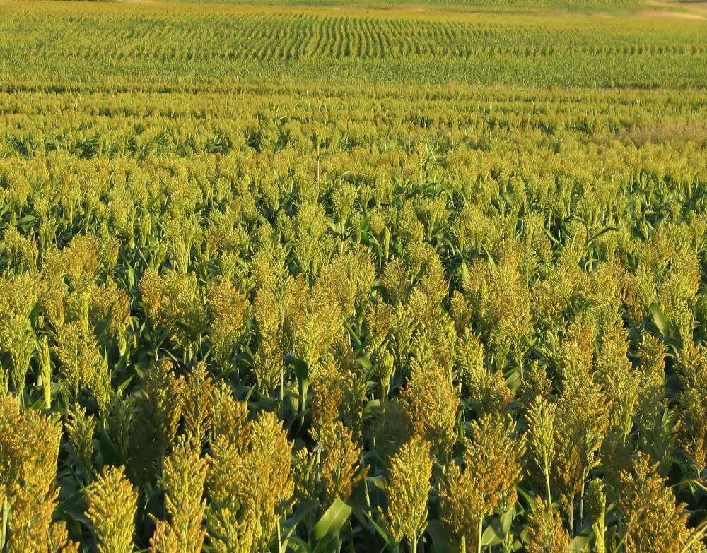 A field of sorghum, a type of angiosperm.